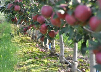 Ublažavanje posledica i zaštita od smrzavanja voćnjaka