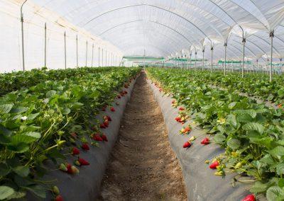 Uzgoj jagoda 1